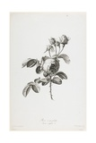 Rose a Cent Feuilles, from Fleurs Dessinees D'Apres Nature, C. 1800 Giclee Print by Gerard Van Spaendonck