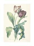 Tulipe Des Jardins, from Fleurs Dessinees D'Apres Nature, C. 1800 Giclée-Druck von Gerard Van Spaendonck