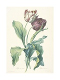 Tulipe Des Jardins, from Fleurs Dessinees D'Apres Nature, C. 1800 Giclee Print by Gerard Van Spaendonck