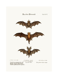 Three Small Bats, 1749-73 Giclee Print by George Edwards