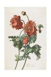 Pavot Cultive, from Fleurs Dessinees D'Apres Nature, C. 1800 Giclée-Druck von Gerard Van Spaendonck