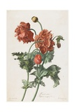 Pavot Cultive, from Fleurs Dessinees D'Apres Nature, C. 1800 Giclee Print by Gerard Van Spaendonck