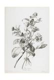Souci Des Jardins, from Fleurs Dessinees D'Apres Nature, C. 1800 Giclee Print by Gerard Van Spaendonck