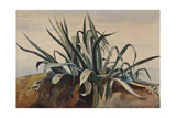 Study of an Agave, with Additions by a Borbone Pupil Giclee Print by Giacinto Gigante