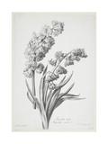 Jacinthe Double, from Fleurs Dessinees D'Apres Nature, C. 1800 Giclee Print by Gerard Van Spaendonck