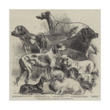 National Exhibition of Dogs at Birmingham Giclee Print by Harrison William Weir