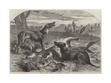 Death of a Red Forester or Old Man Kangaroo Giclee Print by Harrison William Weir