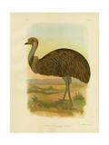 Emu, 1891 Impression giclée par Gracius Broinowski
