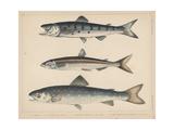 1. Salmon, 2. Osmerus Japonicus, 3. Salmo (Fario) Leucomaenis, 1855 Gicléedruk van H. Patterson