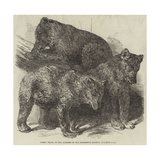 Grisly Bears, in the Gardens of the Zoological Society, Regent's Park Giclee Print by Harrison William Weir