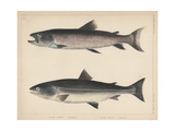 1. Salmo Perryi (Reduced), 2. Salmo Masou (Reduced), 1855 Giclee Print by H. Patterson