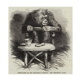 Chimpanzee, at the Zoological Gardens Giclee Print by Harrison William Weir