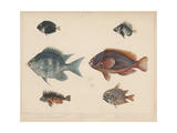 1. Etroplus Fumosus Giclee Print by H. Patterson