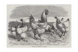 Shanghae Fowls Presented to Her Majesty Giclee Print by Harrison William Weir