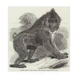 Mandrill Baboon in the Gardens of the Zoological Society, Regent's Park Giclee Print by Harrison William Weir