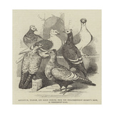 Brunswick, Suabian, and Saxon Pigeons, from the Philoperisteron Society's Show, in Freemasons'-Hall Giclee Print by Harrison William Weir