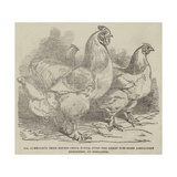 Mr Reynolds's Prize Cochin-China Fowls Giclee Print by Harrison William Weir