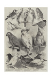 Prize Birds at the Crystal Palace Show Giclee Print by Harrison William Weir