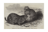 Prairie Dogs in the Zoological Society's Gardens, Regent's Park Giclee Print by Harrison William Weir