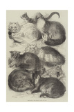 Prize Cats at the Crystal Palace Cat Show Giclee Print by Harrison William Weir