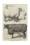 Prize Animals at the Smithfield Club Cattle Show Giclee Print by Harrison William Weir