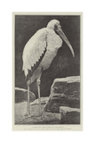 A Learned Judge (Tantalus Stork) Giclee Print by Henry Stacey Marks