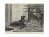 The New Neighbour, Cape Sea Lion and Adjutant Bird Giclee Print by Henry Stacey Marks
