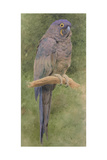 Hyacinth Macaw Giclee Print by Henry Stacey Marks