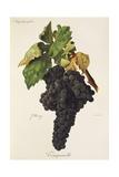 Tempranillo Grape Giclee Print by J. Troncy