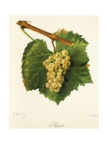 Aligote' Grape Giclee Print by J. Troncy