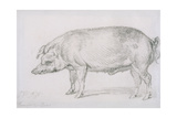Hereford Boar, C.1803-04 Giclee Print by James Ward