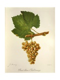 Pinot Blanc Chardonnay Grape Giclee Print by J. Troncy