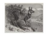 Musk Deer Giclee Print by Johann Baptist Zwecker