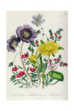 Calandrinia, Plate 18 from 'The Ladies' Flower Garden', Published 1842 Giclee Print by Jane Loudon