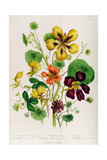 Nasturtium, Plate 21 from 'The Ladies' Flower Garden', Published 1842 Giclee Print by Jane Loudon