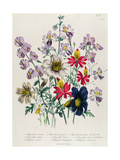 Crane's Bill, Plate 42 from 'The Ladies' Flower Garden', Published 1842 Giclee Print by Jane Loudon