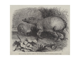 The Babirussa, Recently Added to the Zoological Society's Gardens, Regent's Park Giclee Print by Johann Baptist Zwecker