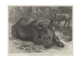 The Sumatra Rhinoceros at the Zoological Society's Gardens Giclee Print by Johann Baptist Zwecker