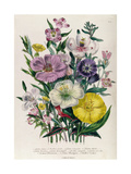 Godetia and Anothera, Plate 8 from 'The Ladies' Flower Garden', Published 1842 Giclee Print by Jane Loudon