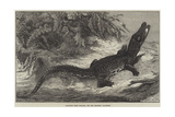 Alligator from Sumatra, for the Brighton Aquarium Giclee Print by Johann Baptist Zwecker