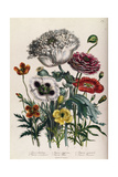 Poppies, Plate 4 from 'The Ladies' Flower Garden', Published 1842 Giclee Print by Jane Loudon