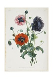 Study of Three Types of Poppies, 1805 Giclee Print by Jean-Louis Prevost