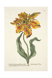 Tulipa Lutea from 'Phythanthoza Iconographica', Published in Germany, 1737-45 Giclee Print by Johann Wilhelm Weinman