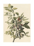 Common Ground Dove Giclee Print by John James Audubon
