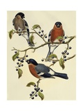 Bullfinch (Pyrrhula Pyrrhula) (1804-1881). United Kingdom, 19th Century Giclee Print by John Gould