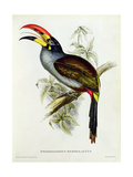 Pteroglossus Hypoglaucus from 'Tropical Birds' Giclee Print by John Gould