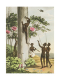 Climbing Trees, Aborigines in New South Wales Engraved by Matthew Dubourg (Fl.1813-1820) Pub. 1813 Giclee Print by John Heaviside Clark