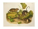 Brown, or Norway Rat, Engraved by John T. Bowen (1801-C.56) Published 1845 Giclee Print by John James Audubon