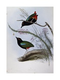 Rainbow Pitta (Pitta Iris) Giclee Print by John Gould