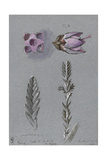 Four Studies of Ling Giclee Print by John Ruskin
